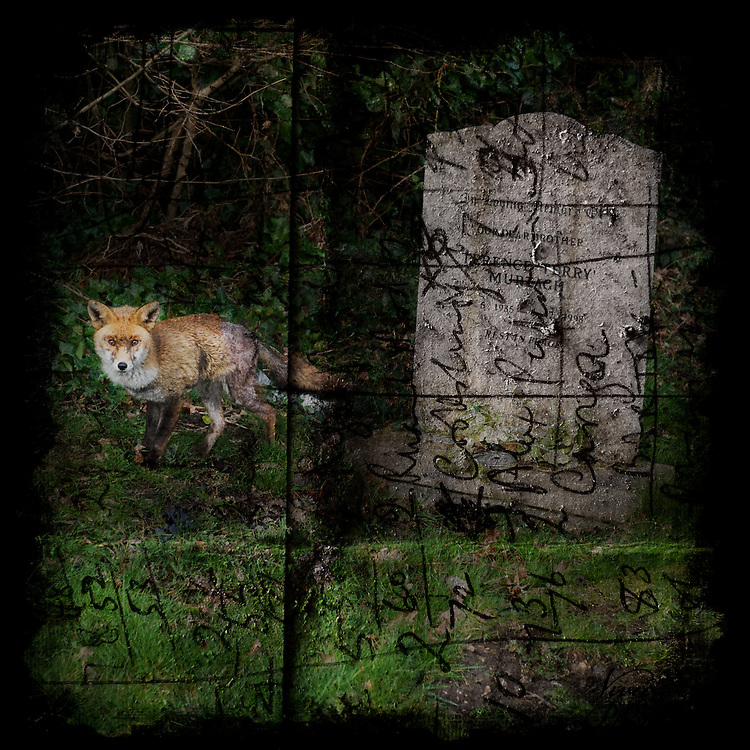 Fox in a graveyard