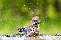 Eurasian jay (Garrulus glandarius) splashes while bathing, Bács-Kiskun, Hungary, Europe