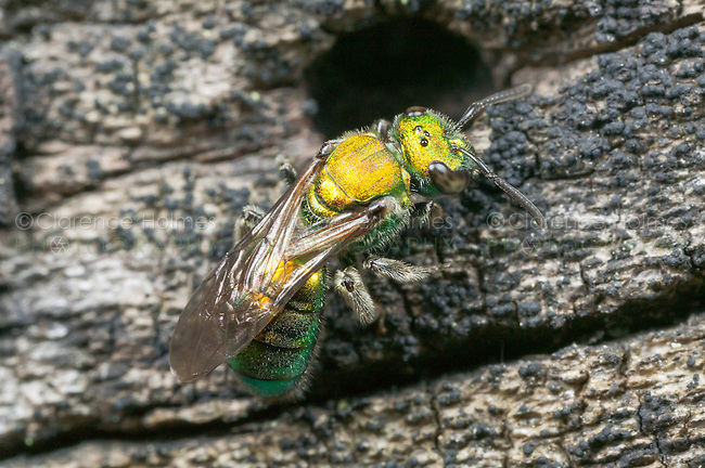 Sweat Bee (Augochlora pura) - Female, investigates a cavity in a dead log, West Harrison, Westchester County, New York