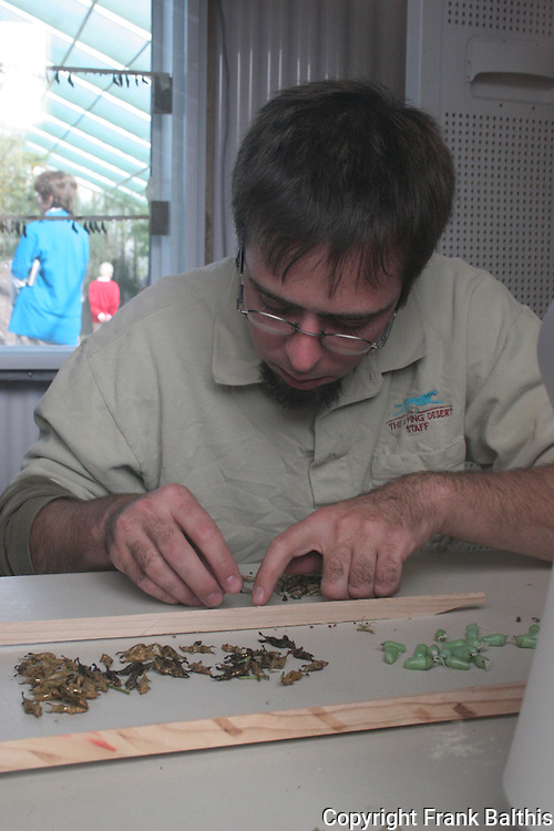 Preparing butterfly chrysalis at the Living Desert's Butterflies Alive