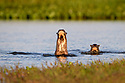 A pair of giant otters (Pteronura brasiliensis) in a lagoon off the Paraguay River in early mornign sunlight, Near Taiama Reserve, western Pantanal, Brazil.
