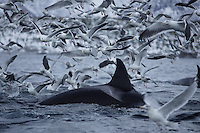 Killer whale, Orcinus orca, Female Carousel feeding on herring with gulls in a feeding frenzy. Stefjorden, Arctic Norway