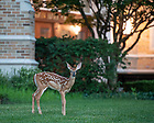 July 3, 2020; A fawn pauses near Jordan Hall of Science. (Photo by Matt Cashore/University of Notre Dame)