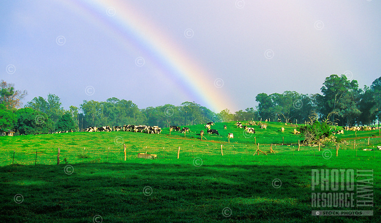 A rainbow over the old Haleakala Dairy and cows in upcountry Olinda just outside of the cowboy (paniolo) town of Makawao. The cows were sold to Meadow Gold on Oahu in the late 1990s.