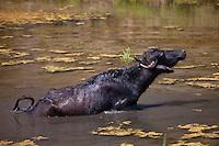 Buffalo in lake at Ranakpur in Pali District of Rajasthan, Western India