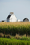 White barn with cross-cupola in corn field in southwest Iowa.