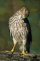 541720092 a wild juvenile coopers hawk accipiter cooperii perches on a log on a private ranch in the rio grande vallley of south texas