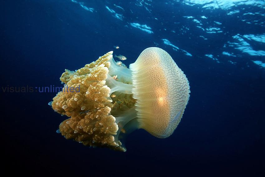 A school of juvenile jackfish, Caranx sp. accompany this huge ,two feet across the bell, jellyfish, Crambione mastigophora, through the Andaman Sea. Thailand.