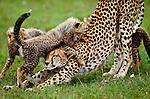 Cheetah and cubs, Masai Mara National Reserve, Kenya