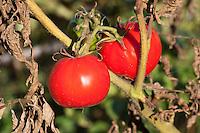 Tomate, Tomaten, Frucht, Früchte, Lycopersicum esculentum, Solanum lycopersicum, tomato