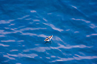 flying fish, flying, Family: Exocoetidae, Pacific Ocean