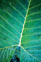 Veins of a giant leaves in the jungle, Palenque, Chiapas, Mexico.