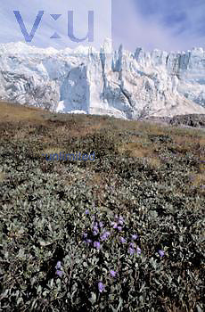 The edge of the Greenland Ice Cap spilling onto a Bluebell-covered tundra, Kangerlussuuag.