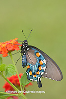 03004-00810 Pipevine Swallowtail (Battus philenor) on Red Spread Lantana (Lantana camara) Marion Co.  IL