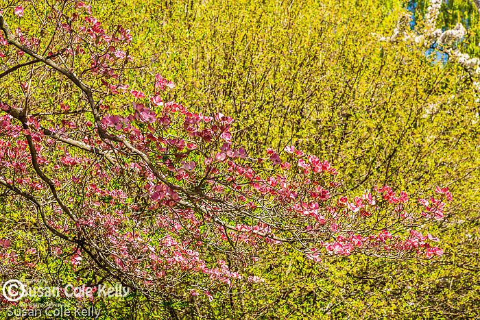 Pink Dogwood blossoms  at Mount Auburn Cemetery, Cambridge, Massachusetts, USA