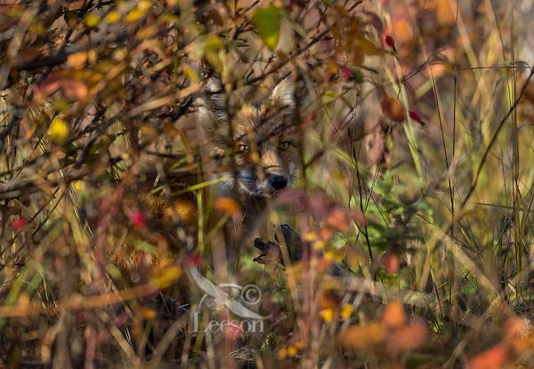 Red Fox (Vulpes vulpes) hiding behind brush near the Yukon/British Columbia border.  Sept.