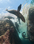 Underwater shot of five Califonia Sea Lions between large boulders. They are cavorting near the surface in Los Islotes, LaPax, Mexico
