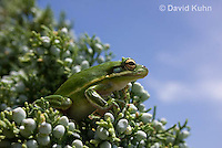 0605-0920  American Green Treefrog Climbing Tree at Outer Banks North Carolina, Hyla cinerea  © David Kuhn/Dwight Kuhn Photography