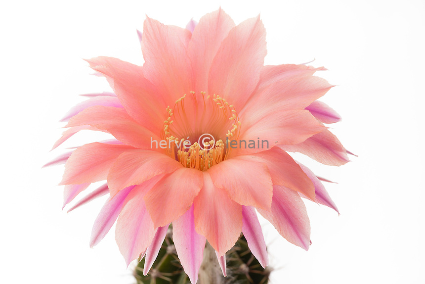 Echinopsis 'Beautiful Dreamer' (Schick hybrid)