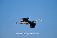 00684-02513 Great Blue Heron (Ardea herodias) in flight    FL