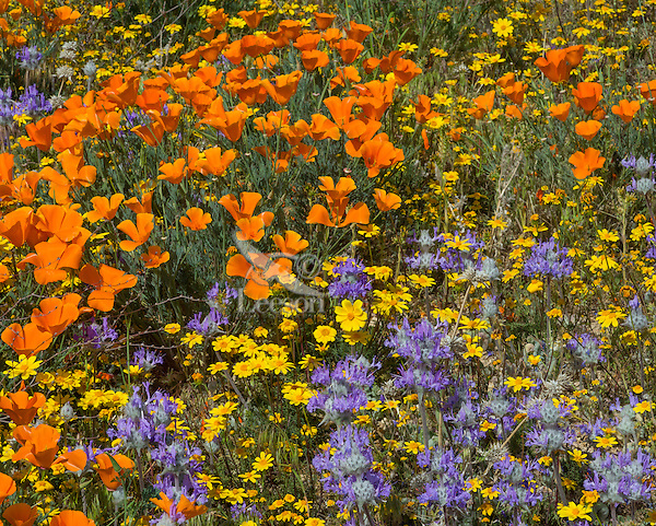 California Poppies, goldfields and thistle sage grow on hills near the Antelope Valley California Poppy Reserve.  March.