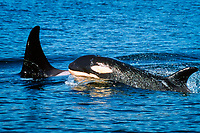 transient orca, Orcinus orca, mother and calf, Haro Strait, Washington, USA, Pacific Ocean