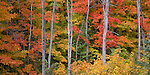 Hiawatha National Forest, MI<br /> Weathered trunks stand against the fall colors of a hardwood forest