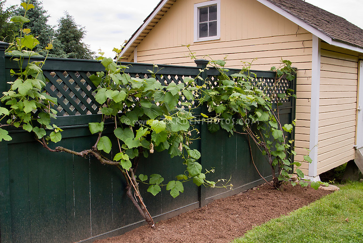 Vitis grape vine on fence next to chicken coop