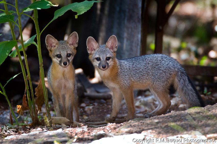 Gray Fox Kits
