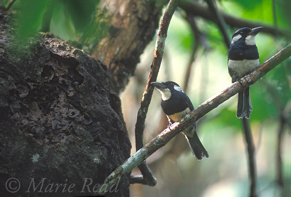 Black-breasted Puffbirds (Notharchus (=Bucco) pectoralis), pair at their nest site, a hole in an arboreal termitary, Soberania National Park, Panama<br /> Slide #B92-58