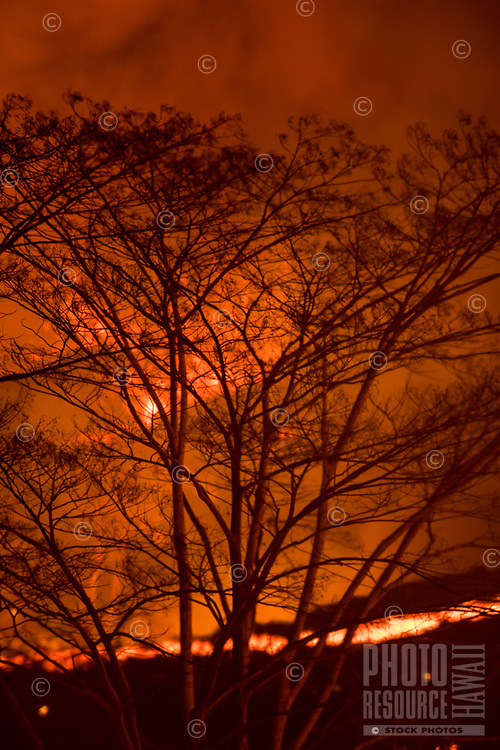 May 2018: A tree reflects the glow of the Kilauea Volcano eruption in Leilani Estates, Puna, Big Island of Hawai'i.