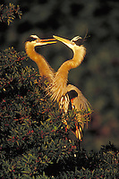 Great Blue Herons, courtship display. Wading birds. Life cycle of birds. South Venice Florida.