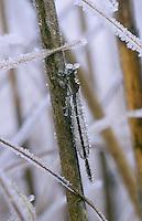 Sibirische Winterlibelle, Überwinterung bei Eis und Schnee als Imago, Sympecma paedisca, Siberian Winter Damsel, overwinter survival, hibernation, snow, Le Leste enfant, Brunette sibérienne