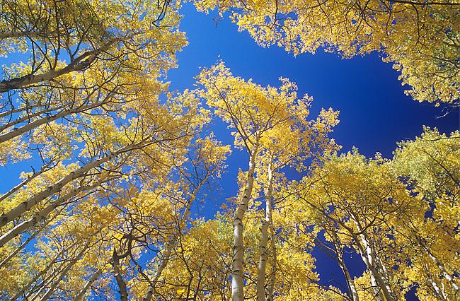 Autumn, Aspen Trees, Colorado
