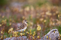 Semi-palmated sandpiper on the tundra in mt aven wildflowers going to seed, Arctic National Wildlife Refuge, arctic, Alaska.