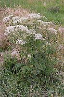 Gewöhnlicher Wiesen-Bärenklau, Wiesenbärenklau, Bärenklau, Heracleum sphondylium, Hogweed