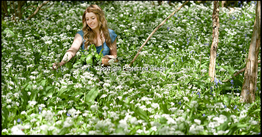 BNPS.co.uk (01202 558833).Pic: PeterWillows/BNPS..Wild garlic carpets the forest floor like a green mat, engulfing forager Loren Materaacki after a bumper year...With crops failing and garden centres struggling in seems mother nature has looked kindly on the natural wonders of Wild Garlic and bluebells - with amazing displays of both...This sea of wild garlic blooming in Sixpenny Handley in North Dorset is evidence of just how much the plant thrives in woodland...The plant, a cousin of the chive, can be confused with deadly Lily of the Valley - but is recognisable by its strong garlic aroma...Its Latin name allium ursinum means 'bear's garlic' as it is favoured by bears after they wake from hibernation...