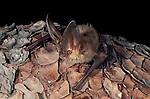 "Plecotus townsendii .A Townsend's Big-Eared Bat .Burro Mountains, Southwest New Mexico, USA""."
