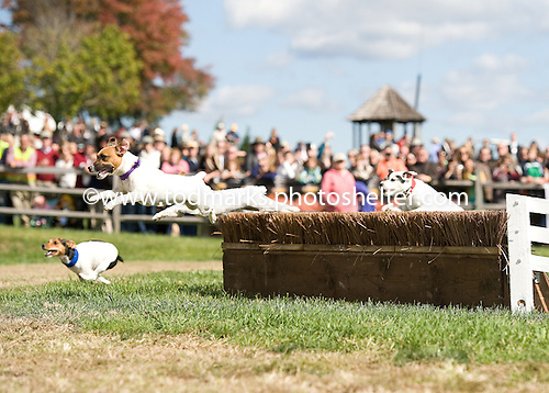 Jack Russells take to the jumps at Great Meadow.