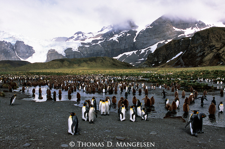 A king penguin colony at Gold Harbour in South Georgia.