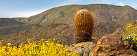 Ferocactus cylindraceus, barrel cactus on rocky outcrop with Encelia farinosa, Brittlebush in Sonoran Desert at Anza Borrego California State Park