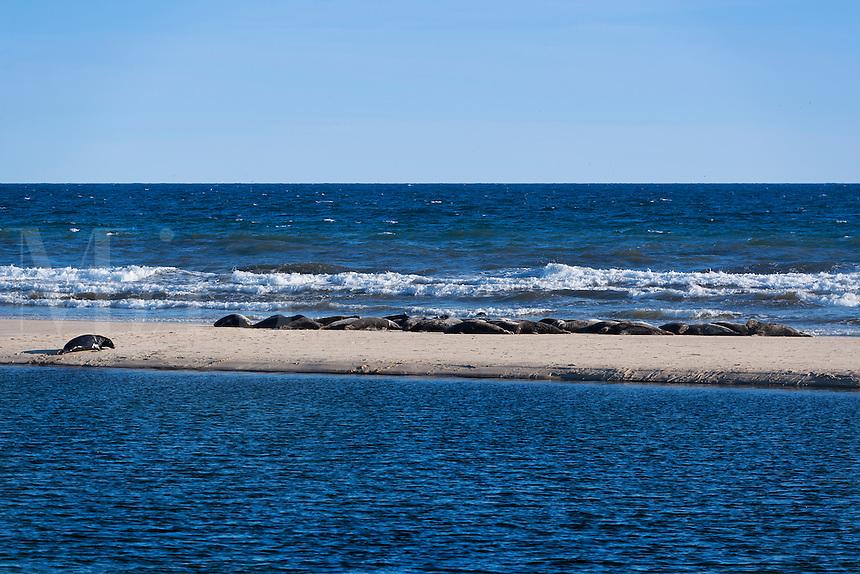 Congregation of seals sunbathing on a sand bar, Head of the Meadow Beach, Truro, Cape Cod, Massachusetts, USA
