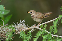 Grey-cheeked Thrush (Catharus minimus), adult, South Padre Island, Texas, USA