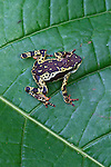 Amazon Harlequin Toad (Atelopus pulcher) in Peruvian Amazon