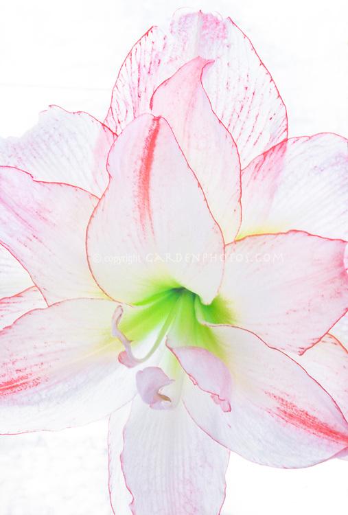 Amaryllis Picotee Hippeastrum backlit, macro closeup of white and pink Christmas winter bulb flower