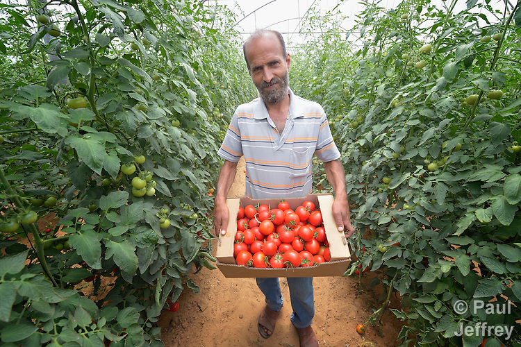 Samy Abu Khater harvests tomatoes in a greenhouse in Al Fukari, Gaza. He grows vegetables in several greenhouses, using water from a rain water catchment system to fill a giant pond. That water he mixes with increasingly saline groundwater from a well. The system allows him to produce a greater quantity of more lucrative crops, at greater profit because he has to buy less water. Khater and several other farmers in the community received assistance in building the system from Diakonie Katastrophenhilfe, a member of the ACT Alliance. In the wake of the devastating 2014 war, ACT Alliance members are supporting health care, vocational training, rehabilitation of housing and water systems, psycho-social care, and other humanitarian actions throughout the besieged Palestinian territory. Quality water is growing increasingly scarce in Gaza, as Israel drains the aquifer for its own development, pulling salt water into the aquifer from the west.