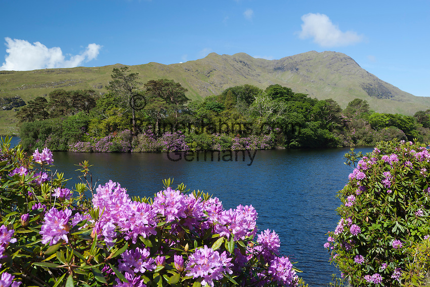 Ireland, County Galway, Connemara: Lough Fee with Rhododendrons and Benchoona mountain   Irland, County Galway, Connemara: der Lough Fee mit Rhododendron im Hintergrund der Benchoona mountain