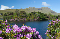Ireland, County Galway, Connemara: Lough Fee with Rhododendrons and Benchoona mountain | Irland, County Galway, Connemara: der Lough Fee mit Rhododendron im Hintergrund der Benchoona mountain