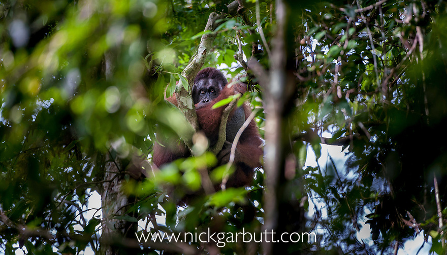 Male Bornean Orang-utan (Pongo pygmaeus) in forest canopy. Danum Valley, Sabah, Borneo.