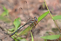 333890011 a wild male ashy clubtail dragonfly gomphus lividus feeds on a grasshopper at indian creek jasper county texas united states